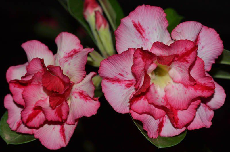 Rosa do Deserto JULIETA Flor Tripla Rosa Matizada com Branco e Vermelho - EV-272