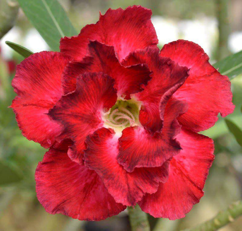 Rosa do Deserto EVA Flor Tripla Vermelha Dobrada com Borda Manchada - EV-207