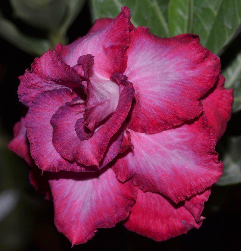 Rosa do Deserto JUDITE Vermelha, Rosa e Roxa - EV-384