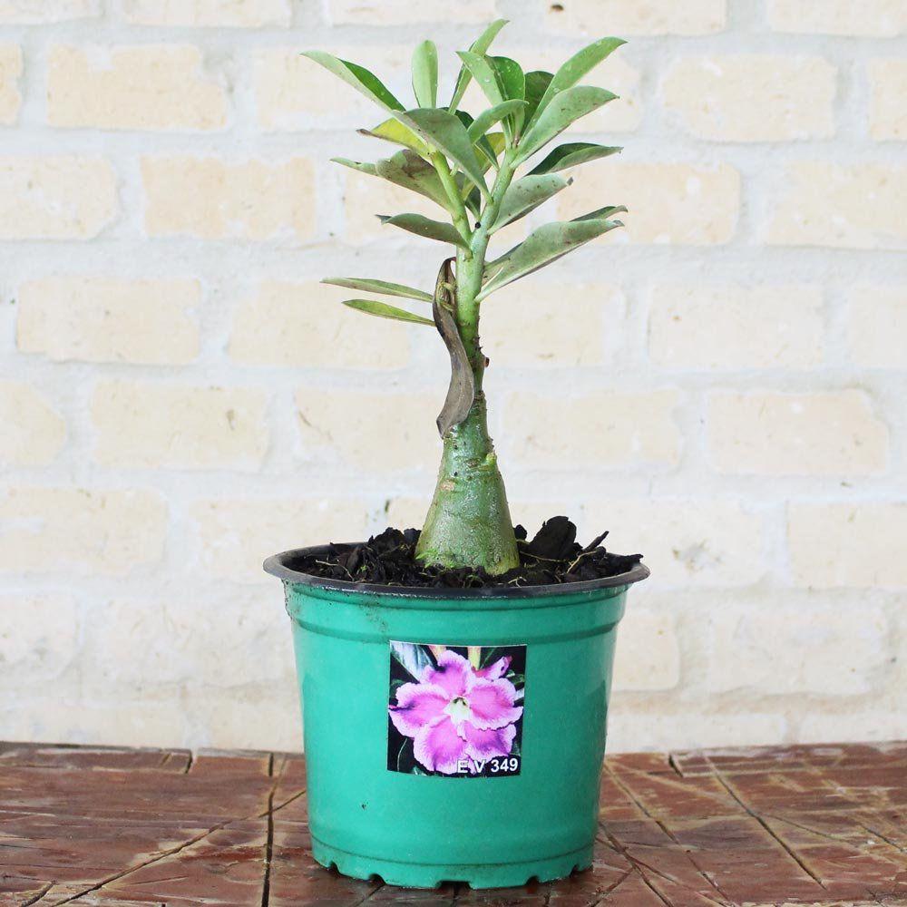Rosa do Deserto VITALINA Cor Matizada em Pink, Rosa e Roxo - EV-349