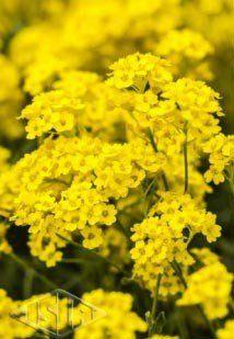 Sementes de Alyssum Perene Amarelo (Isla Multi)