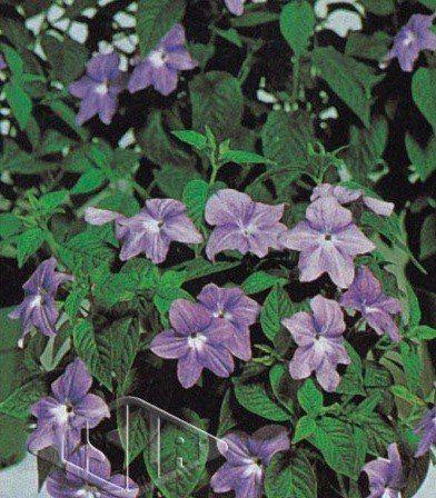 Sementes de Brovalia Azul (Isla Superpak)