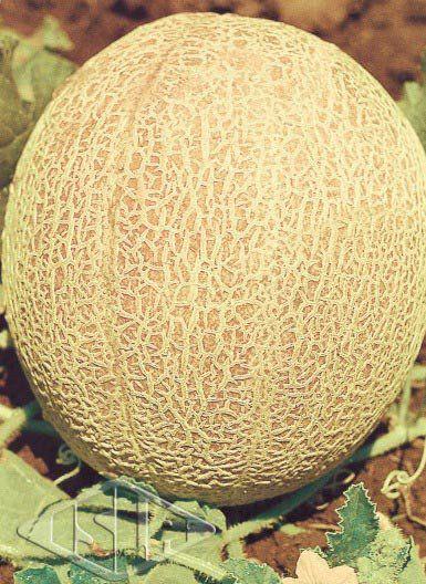 Sementes de Melão Imperial 45 (Isla Multi)