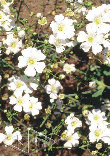 Sementes de Mosquitinho Branco (Gypsophila Elegans) (Isla)