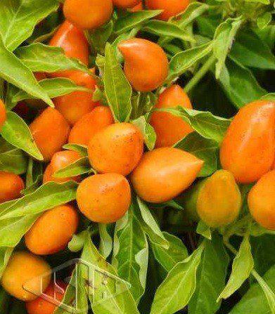 Sementes de Pimenta Stromboli Ornamental (Isla Multi)