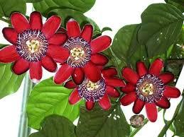 Passiflora Tintura 100 ml