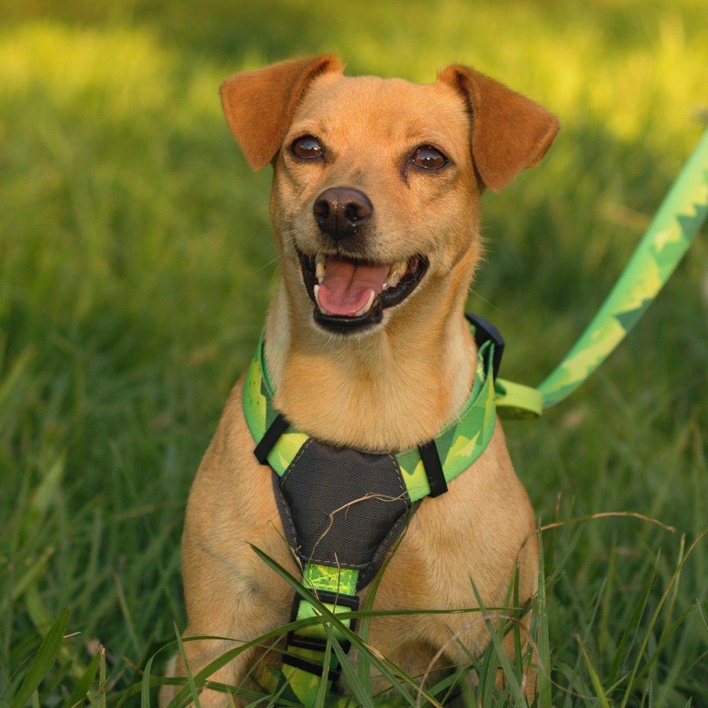 Peitoral H para Cachorro Cachorreiros Adventure - Frete Grátis Sul e Sudeste
