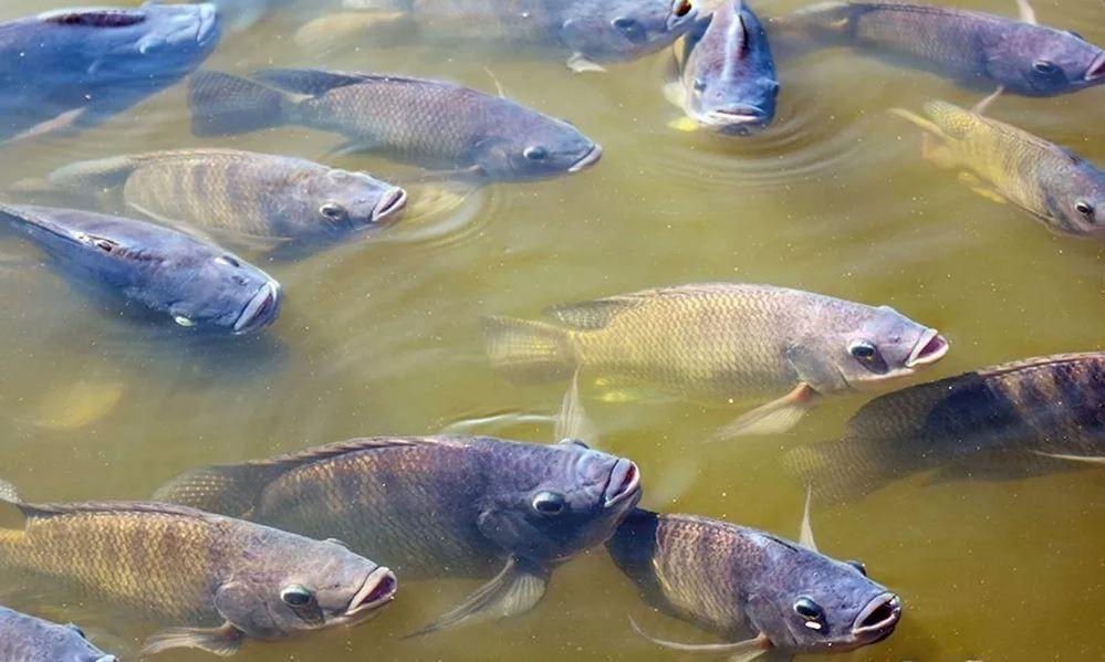 Ração Para Peixe GuabiTech Tilápias 32% - 5kg  - Life Pesca - Sua loja de Pesca, Camping e Lazer
