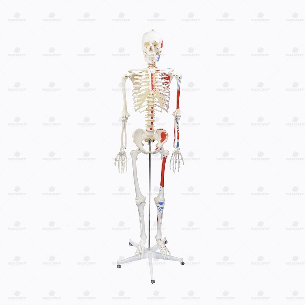 ESQUELETO HUMANO 1,70CM COM ORIGENS E INSERÇÕES MUSCULARES COM HASTE E SUPORTE SD5001B