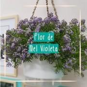Sementes para plantar Alyssum Violeta ou Flor de Mel violeta em vasos autoirrigáveis RAIZ
