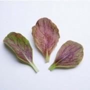 Sementes para plantar Chicória Palla Roxa em vasos autoirrigáveis RAIZ