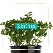 Sementes para plantar Salsa Crespa em vasos autoirrigáveis RAIZ