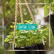 Sementes para plantar Salsa Lisa em vasos autoirrigáveis RAIZ