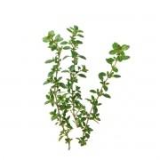 Sementes para plantar Tomilho em vasos autoirrigáveis RAIZ