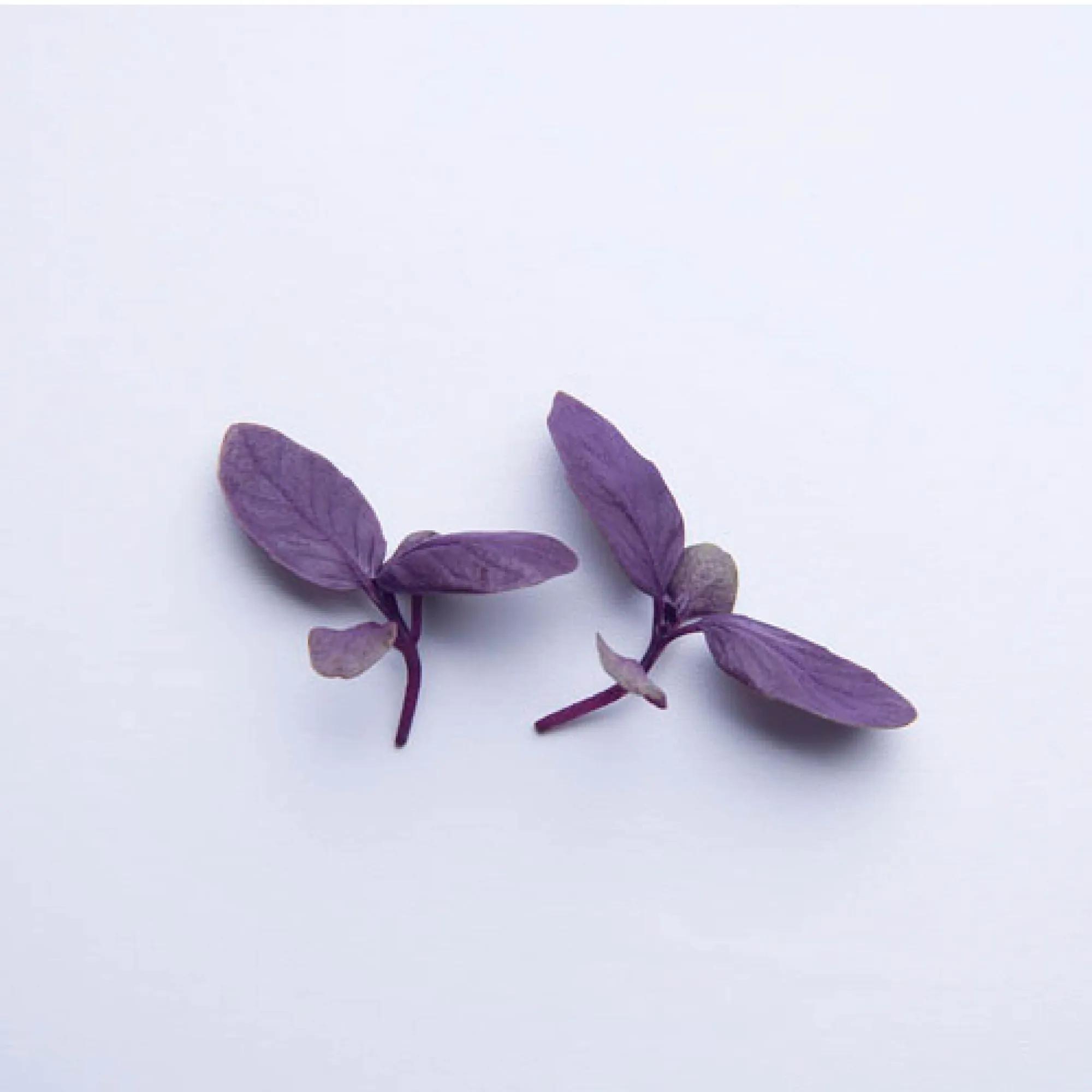 Sementes para cultivar Manjericão Roxo baby Leaf em vasos autoirrigáveis RAIZ  - Vasos Raiz Loja Oficial