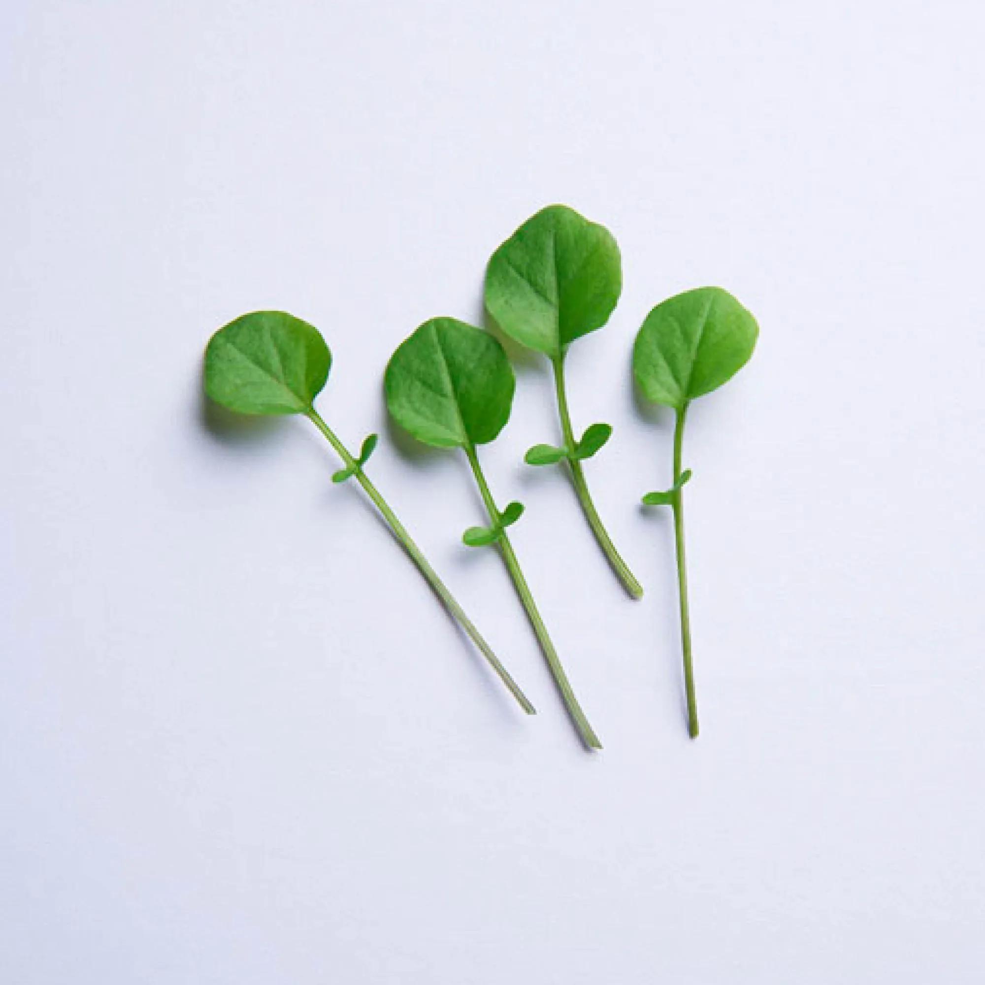 Sementes para plantar Agrião em vasos autoirrigáveis RAIZ  - Vasos Raiz Loja Oficial