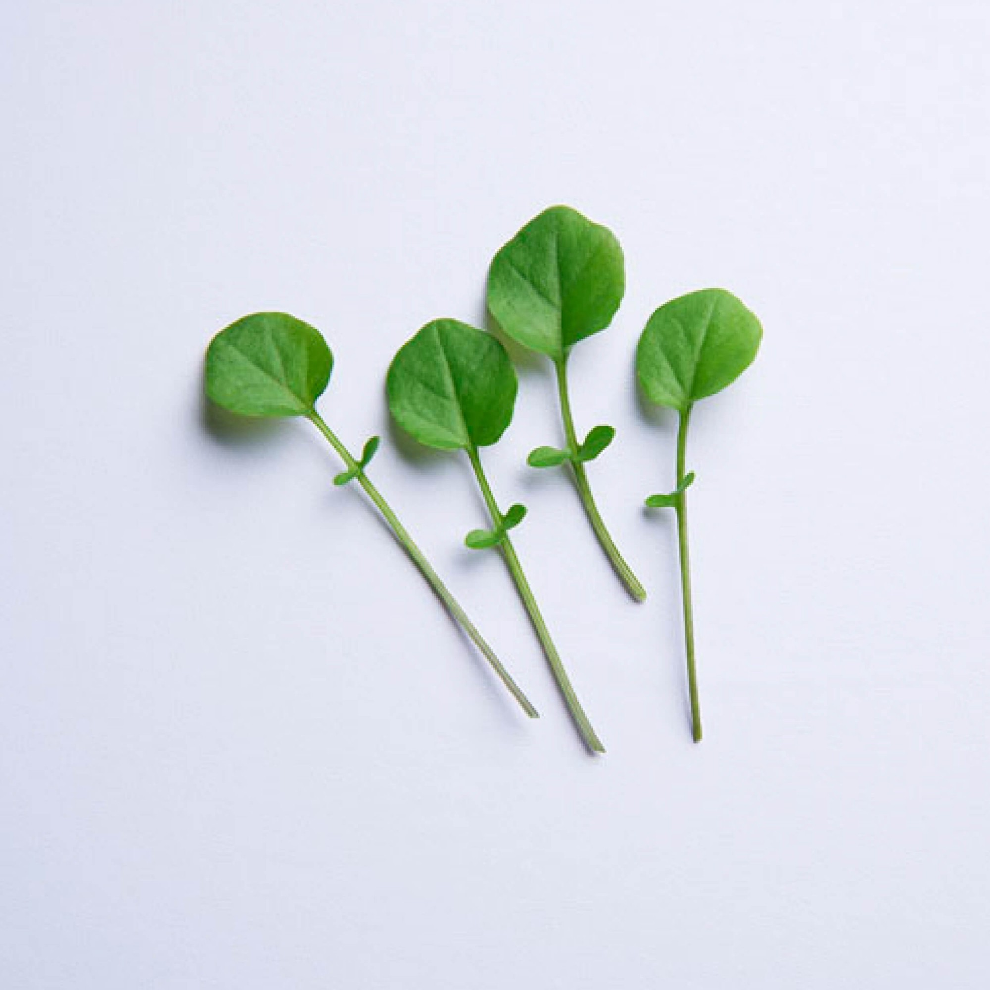 Sementes para plantar Agrião em vasos autoirrigáveis RAIZ  - Loja Raiz