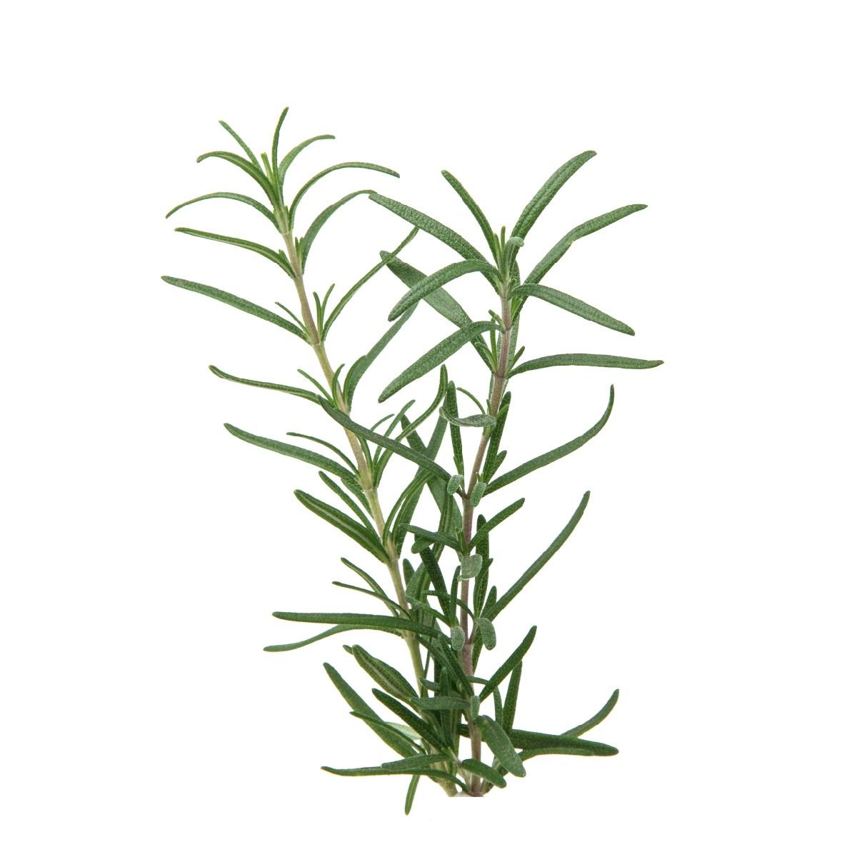 Sementes para plantar Alecrim em vasos autoirrigáveis RAIZ  - Vasos Raiz Loja Oficial