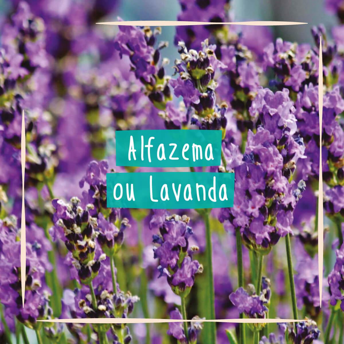 Sementes para plantar Alfazema ou Lavanda em vasos autoirrigáveis RAIZ  - Loja Raiz
