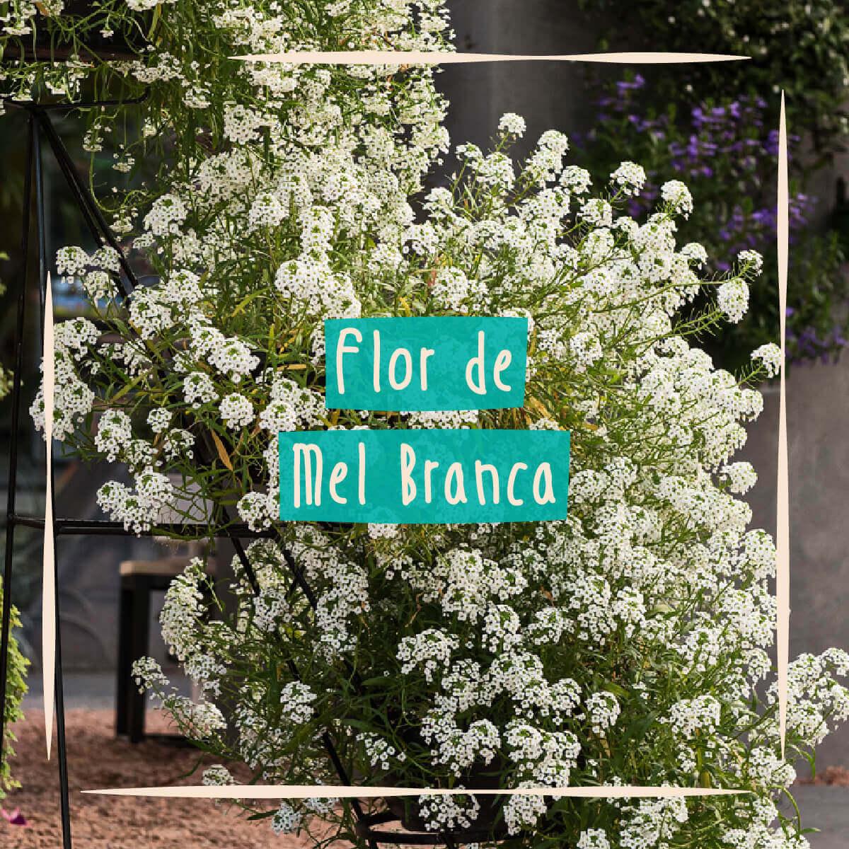 Sementes para plantar Alyssum Branco ou Flor de Mel em vasos autoirrigáveis RAIZ  - Vasos Raiz Loja Oficial