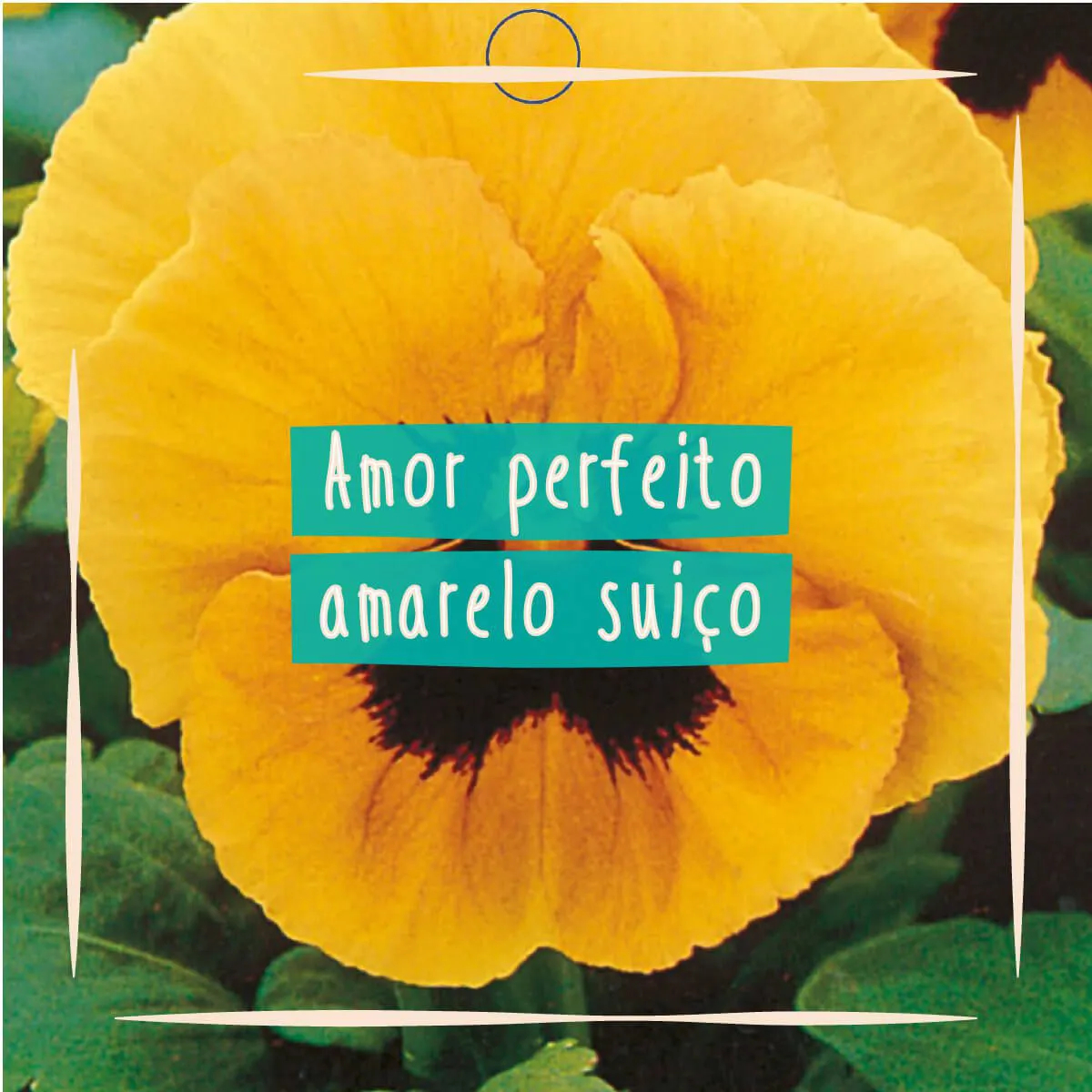 Sementes para plantar Amor Perfeito Amarelo Gigante em vasos autoirrigáveis RAIZ  - Vasos Raiz Loja Oficial