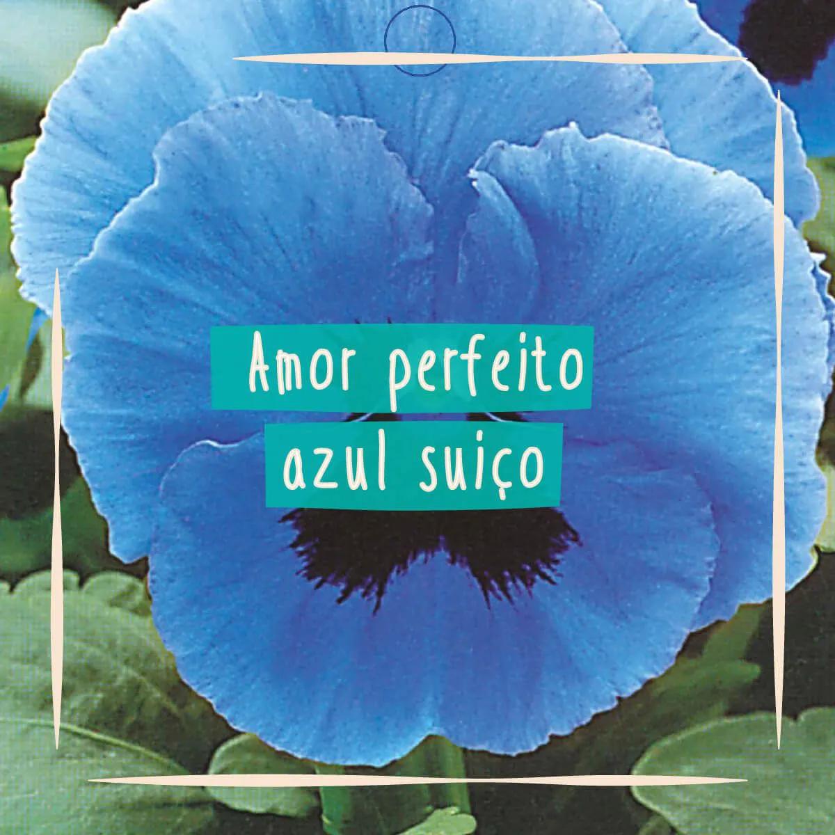 Sementes para plantar Amor Perfeito Azul Gigante em vasos autoirrigáveis RAIZ  - Vasos Raiz Loja Oficial