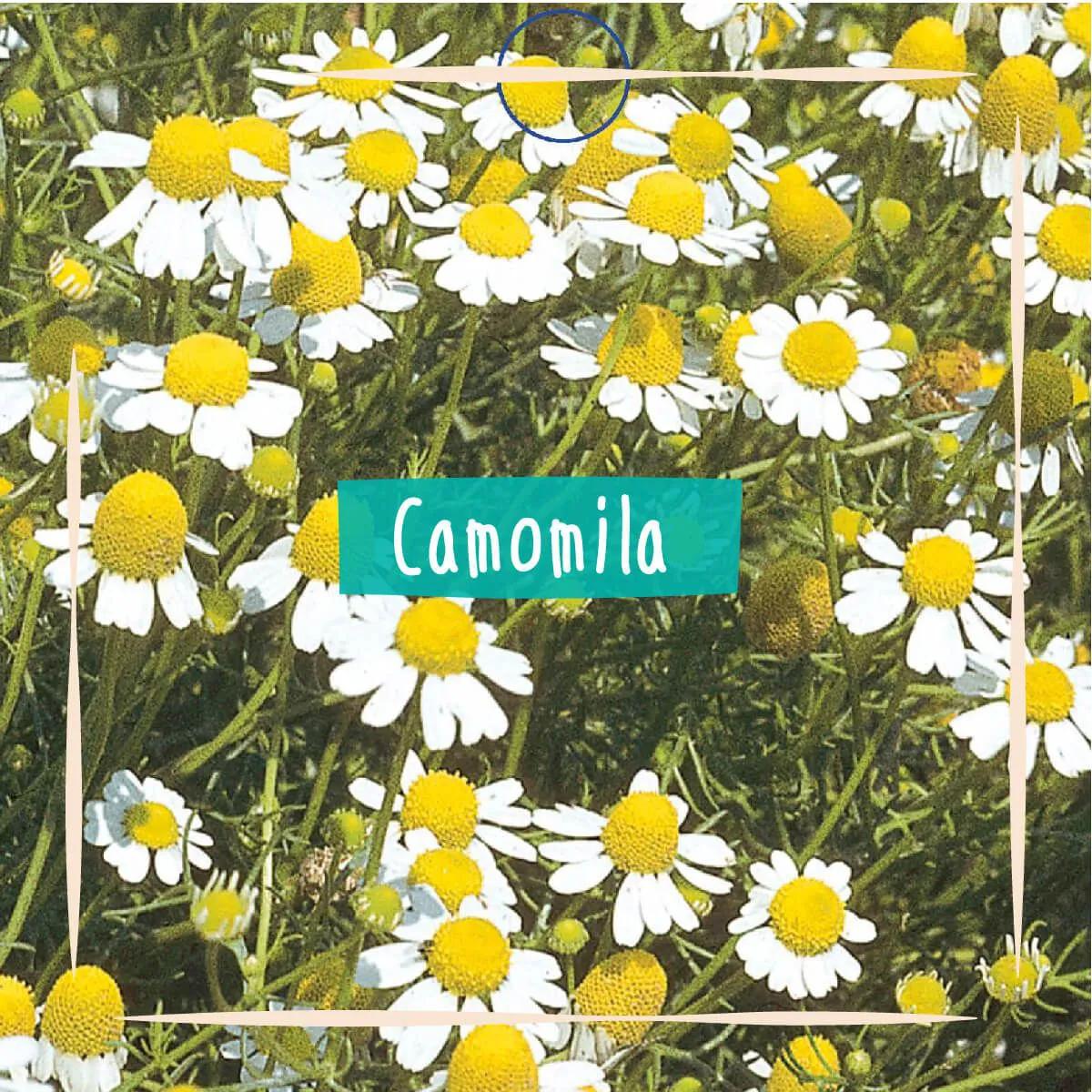 Sementes para plantar Camomila em vasos autoirrigáveis RAIZ  - Vasos Raiz Loja Oficial