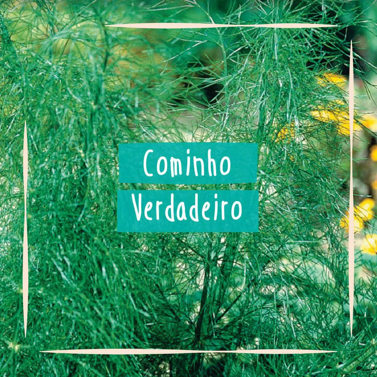 Sementes para plantar Cominho em vasos autoirrigáveis RAIZ  - Vasos Raiz Loja Oficial