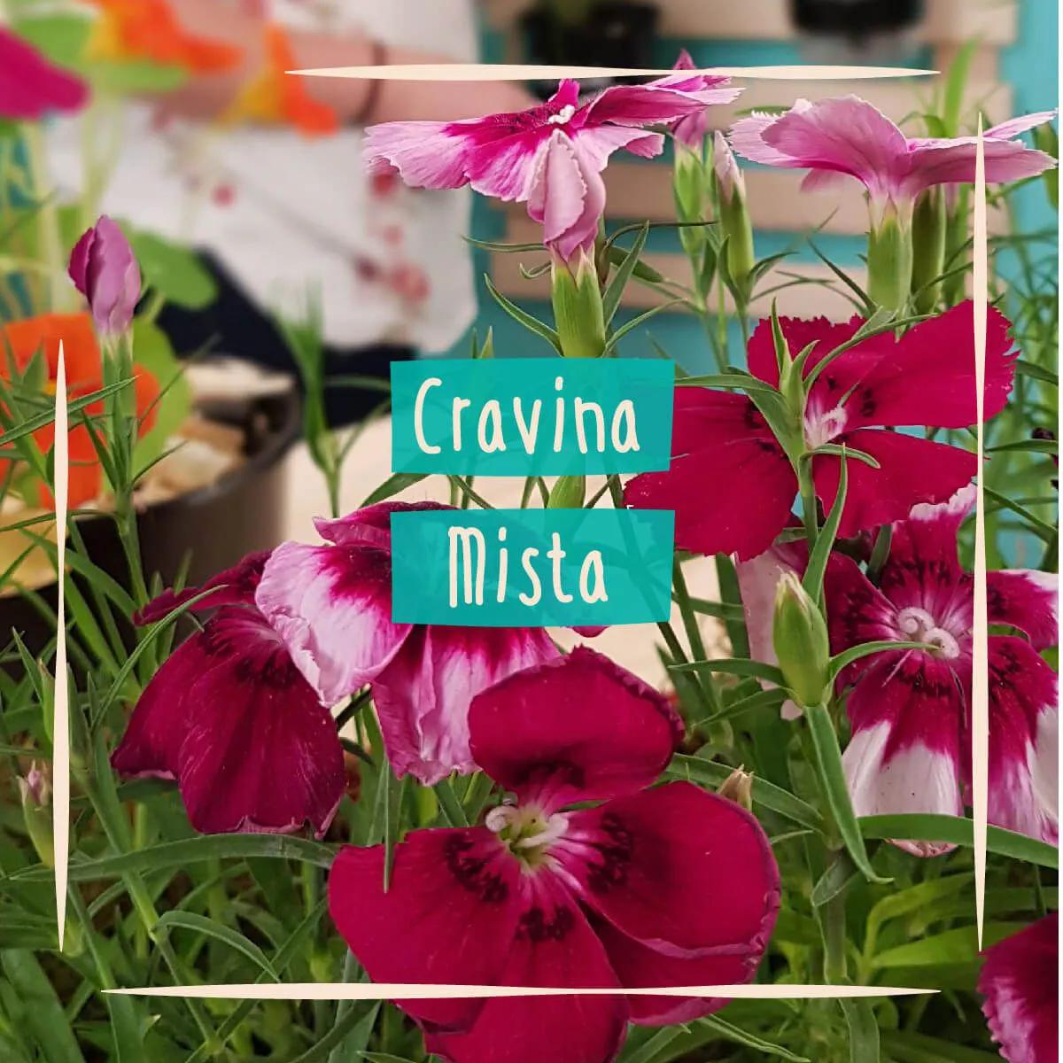 Sementes para plantar Cravina da China Sortida em vasos autoirrigáveis RAIZ  - Vasos Raiz Loja Oficial