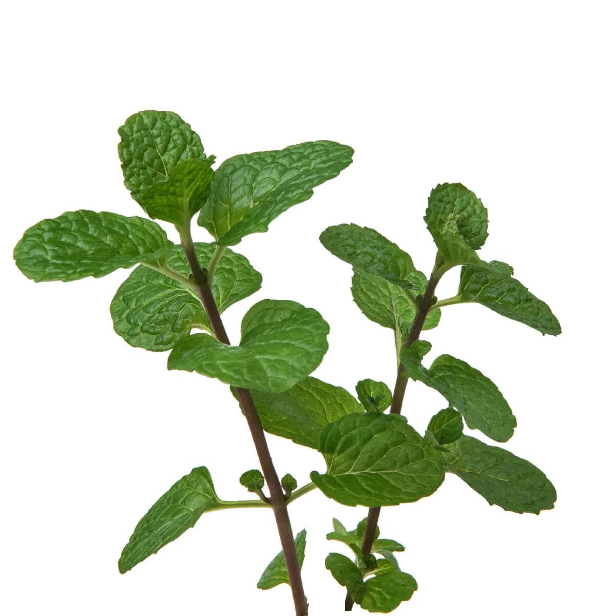 Sementes para plantar Hortelã em vasos autoirrigáveis RAIZ  - Vasos Raiz Loja Oficial