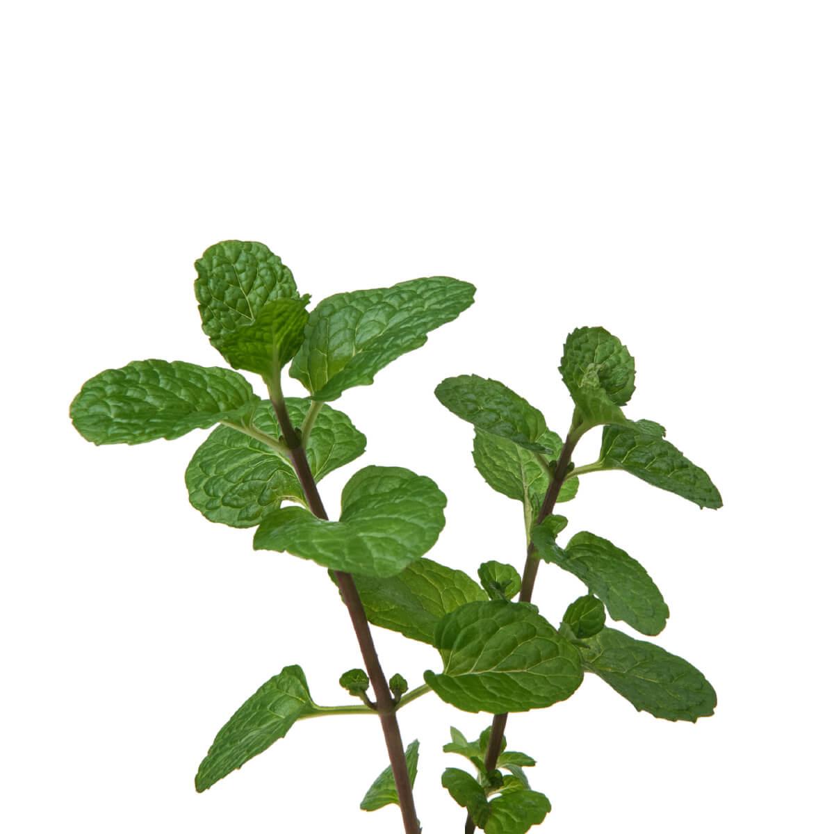 Sementes para plantar Hortelã em vasos autoirrigáveis RAIZ  - Loja Raiz