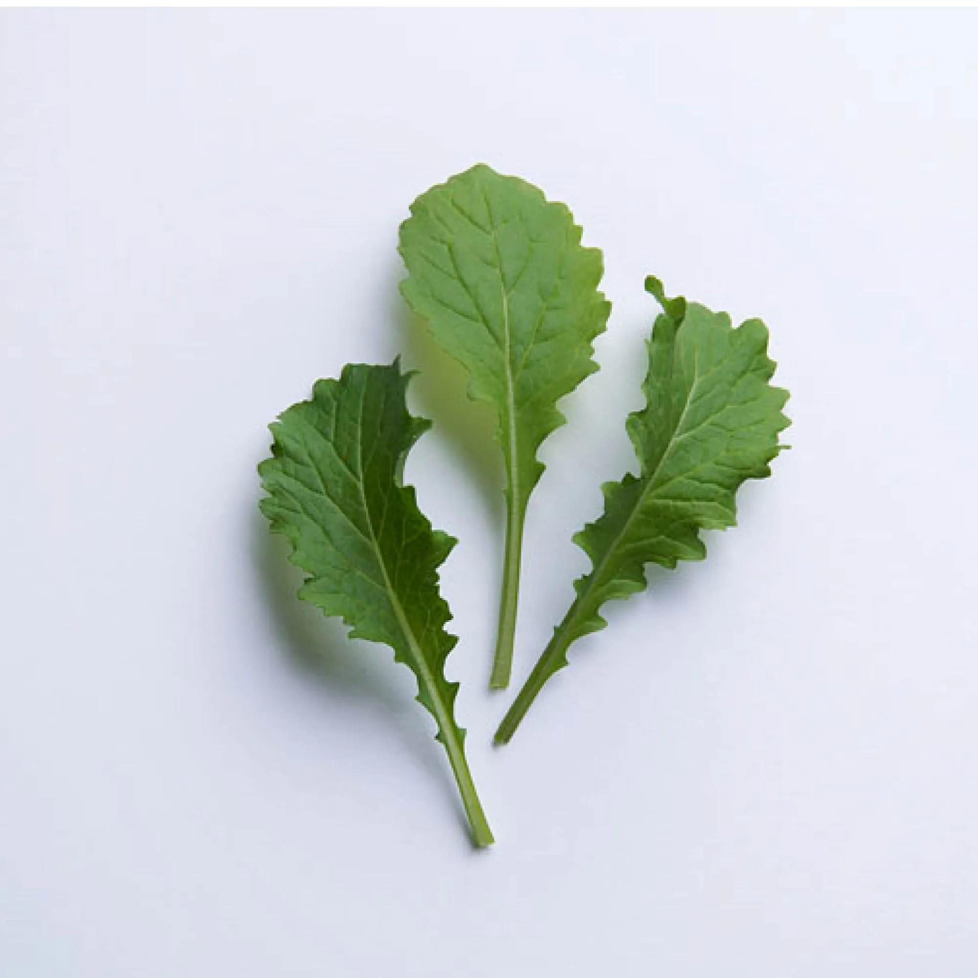 Sementes para plantar Mostarda  Crespa Baby Leaf em vasos autoirrigáveis RAIZ  - Vasos Raiz Loja Oficial