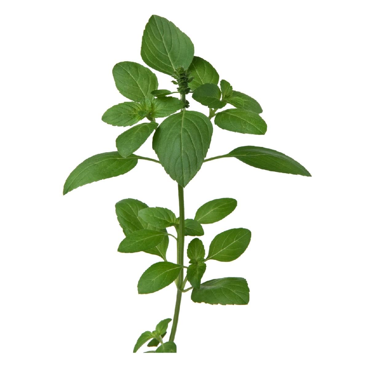 Sementes para plantar Manjericão Alfavaca Verde em vasos autoirrigáveis RAIZ  - Vasos Raiz Loja Oficial