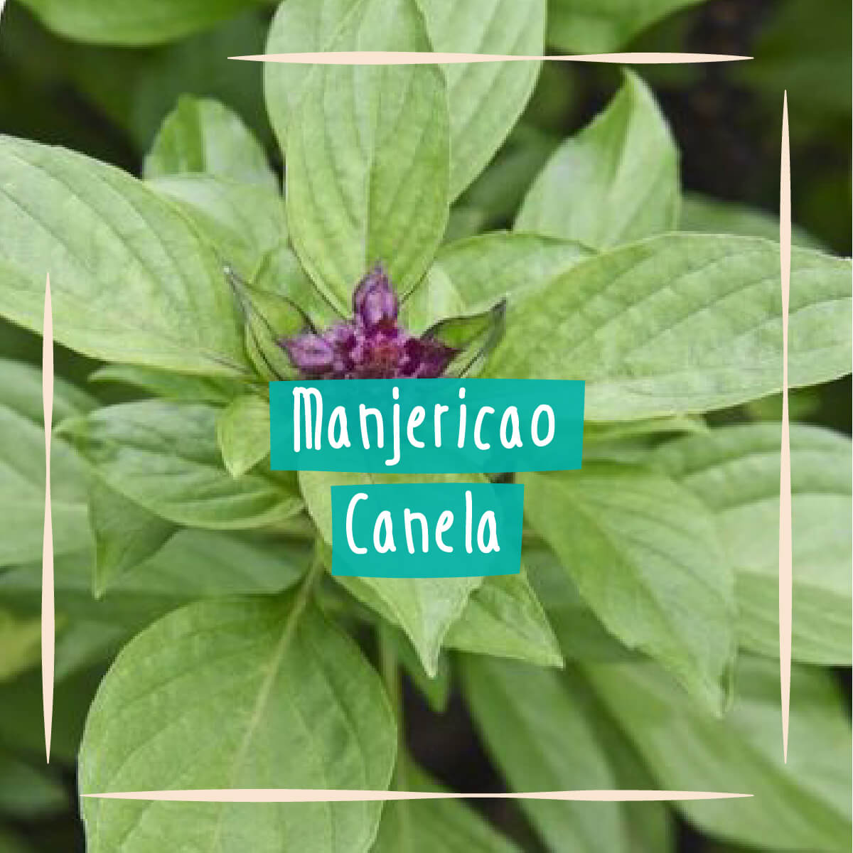 Sementes para plantar Manjericão Canela em vasos autoirrigáveis RAIZ  - Vasos Raiz Loja Oficial