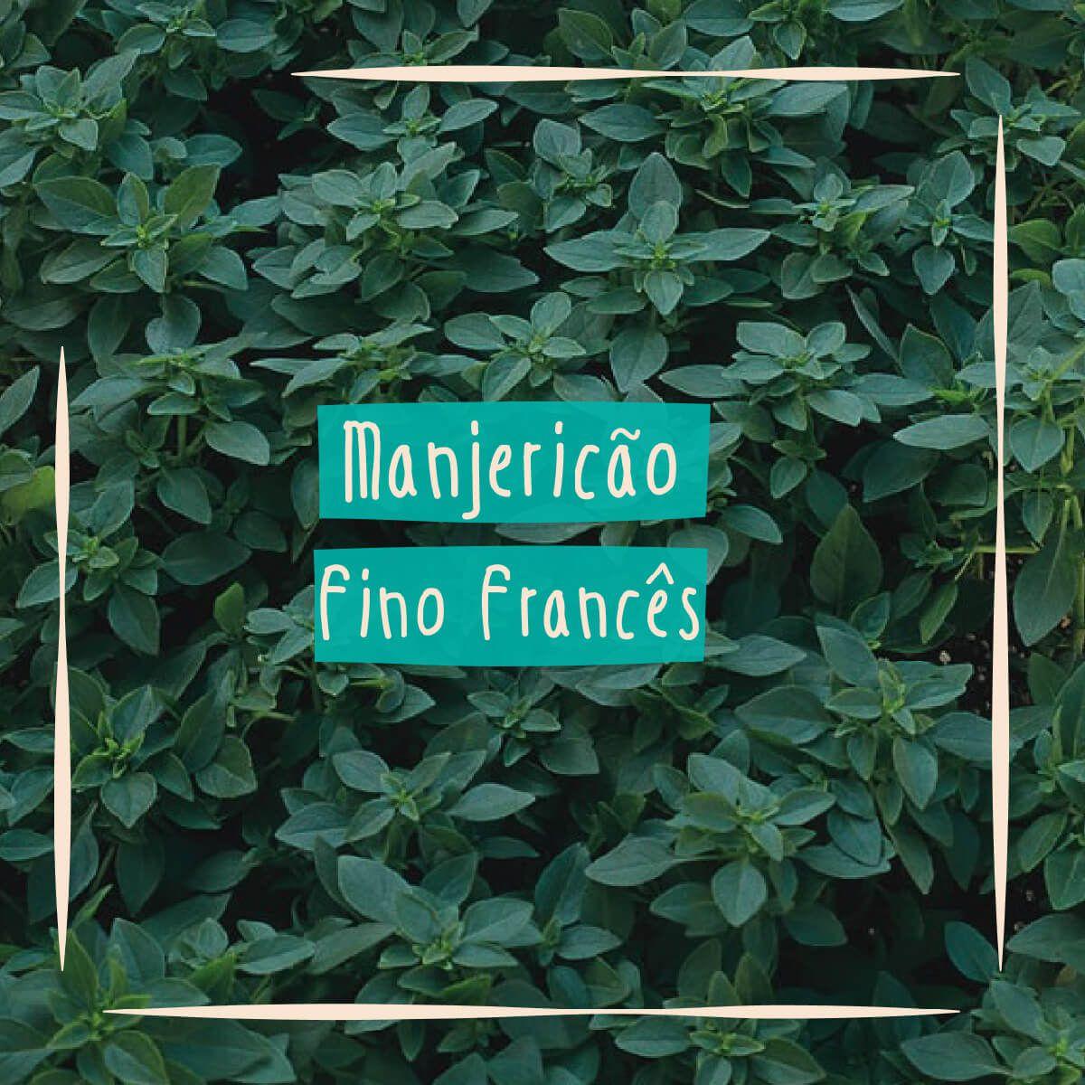 Sementes para plantar Manjericão Fino Francês em vasos autoirrigáveis RAIZ  - Vasos Raiz Loja Oficial