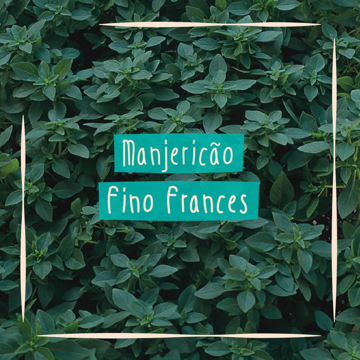 Sementes para plantar Manjericão Fino Francês em vasos autoirrigáveis RAIZ  - Loja Raiz