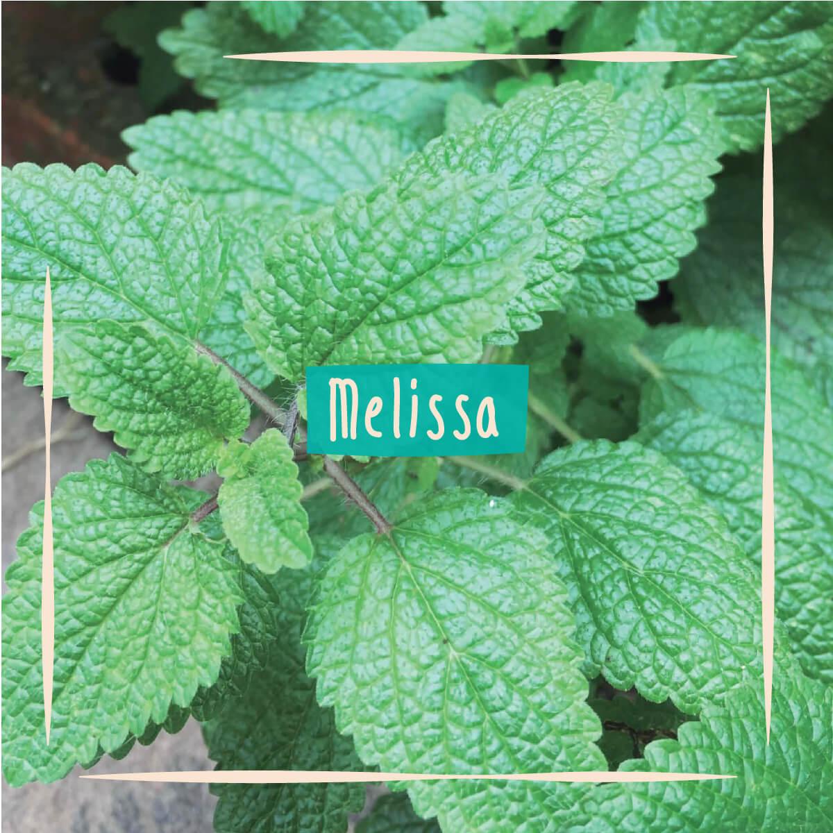 Sementes para plantar Melissa em vasos autoirrigáveis RAIZ  - Vasos Raiz Loja Oficial