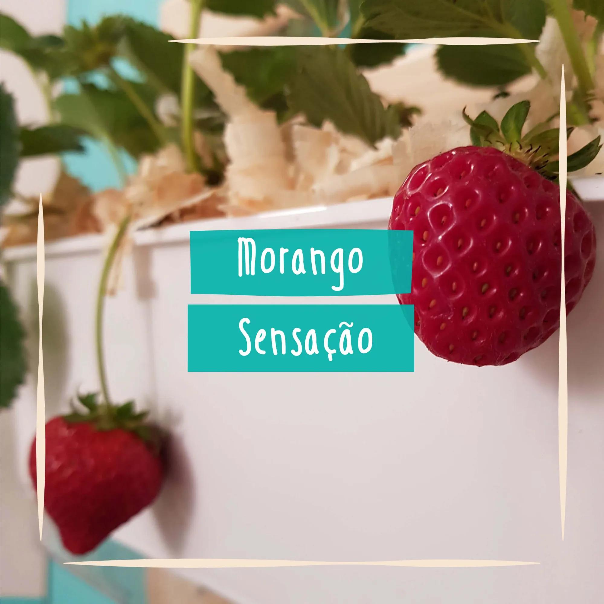 Sementes para plantar Morango Sensação em vasos autoirrigáveis RAIZ  - Vasos Raiz Loja Oficial