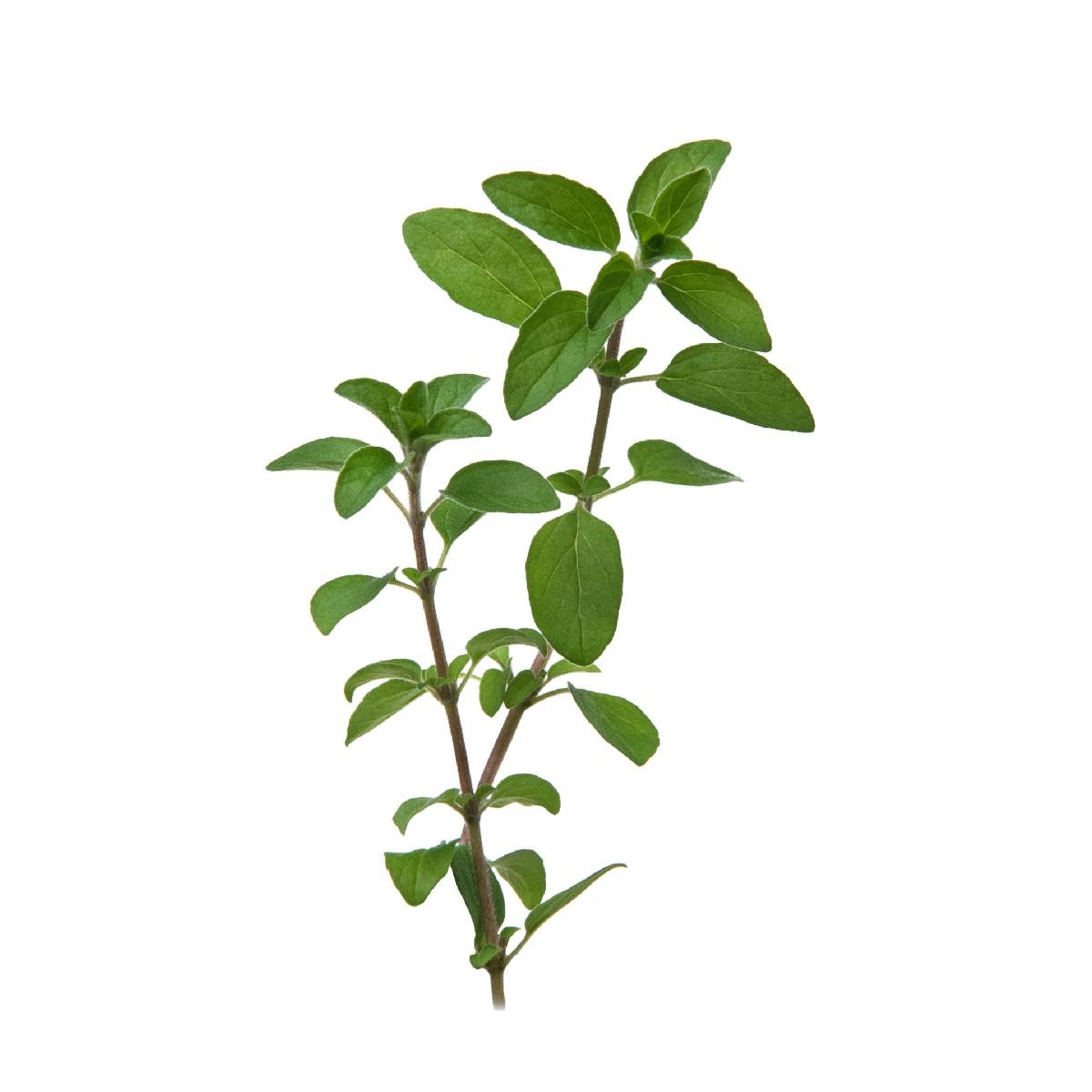 Sementes para plantar Orégano em vasos autoirrigáveis RAIZ  - Vasos Raiz Loja Oficial