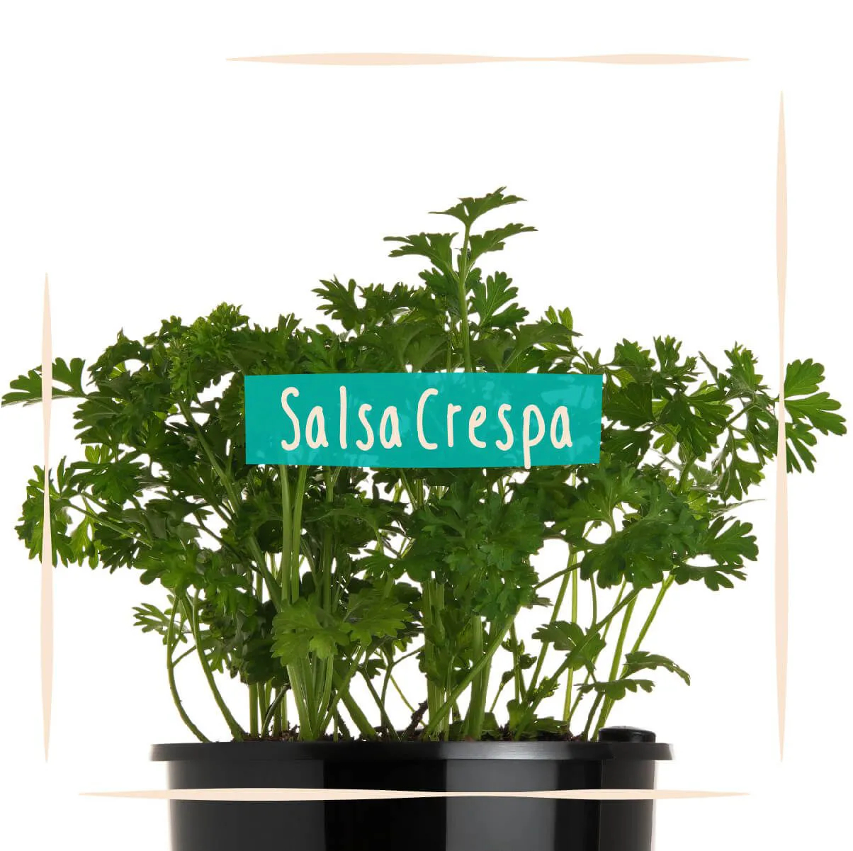 Sementes para plantar Salsa Crespa em vasos autoirrigáveis RAIZ  - Vasos Raiz Loja Oficial