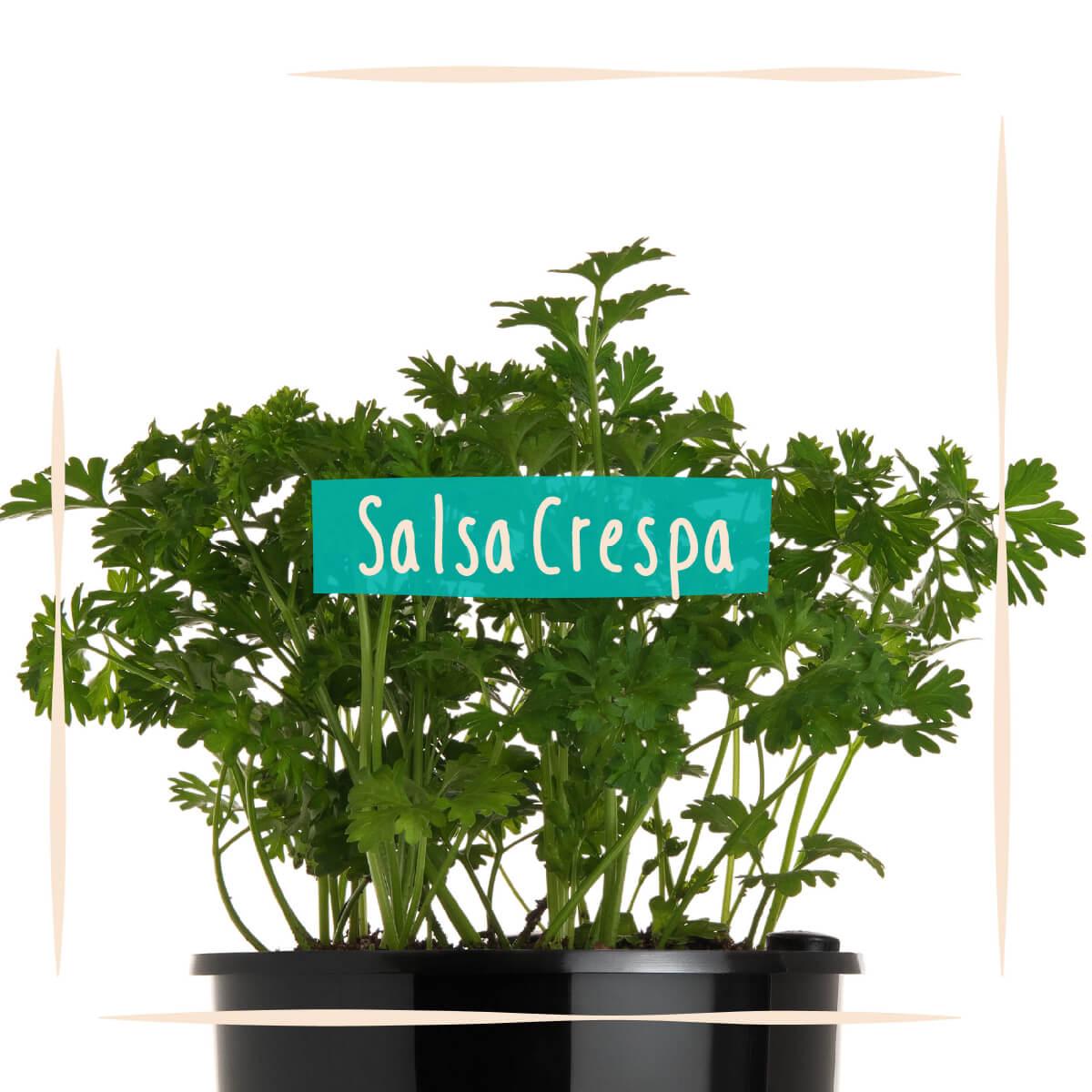 Sementes para plantar Salsa Crespa em vasos autoirrigáveis RAIZ  - Loja Raiz
