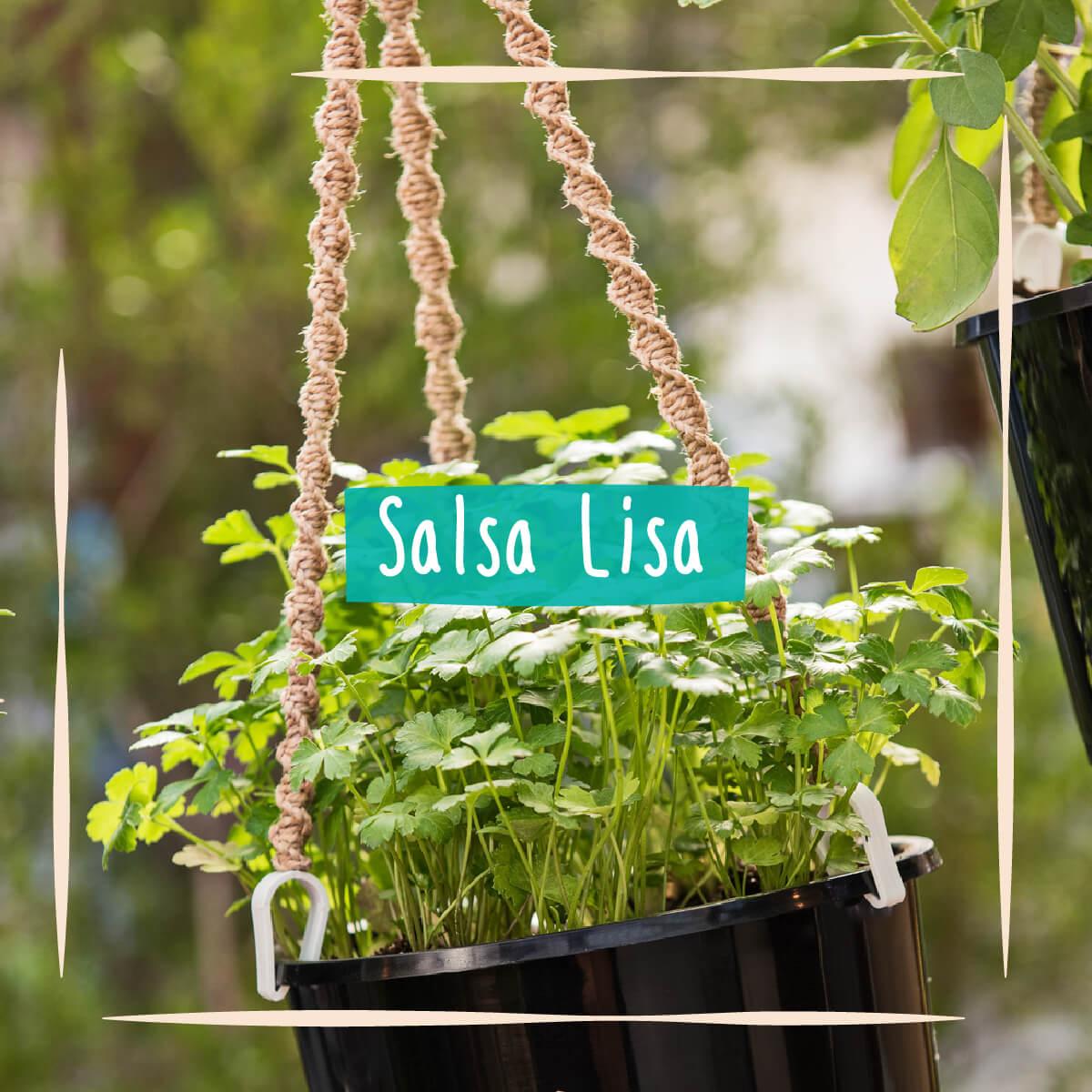 Sementes para plantar Salsa Lisa em vasos autoirrigáveis RAIZ  - Vasos Raiz Loja Oficial