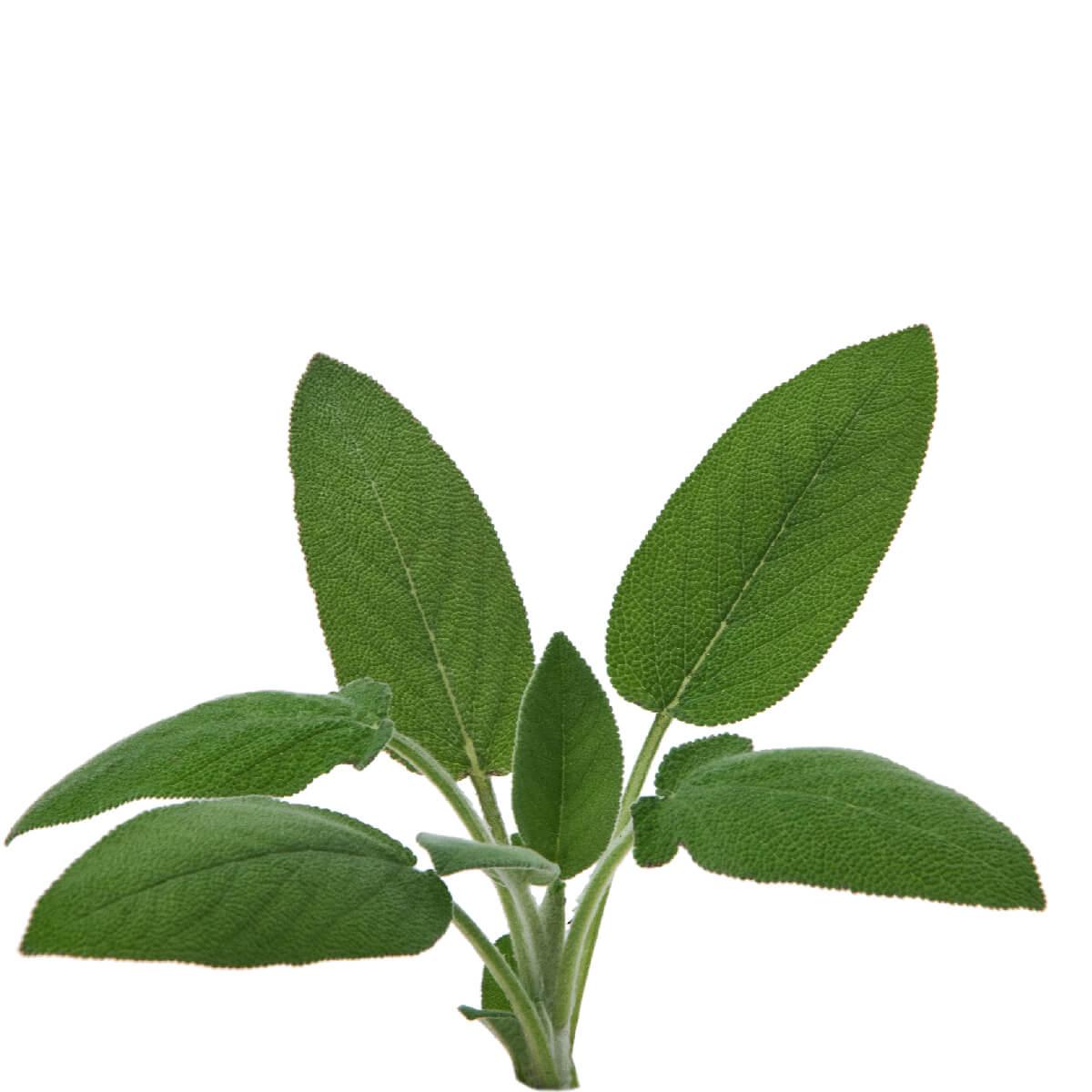 Sementes para plantar Sálvia em vasos autoirrigáveis RAIZ  - Vasos Raiz Loja Oficial