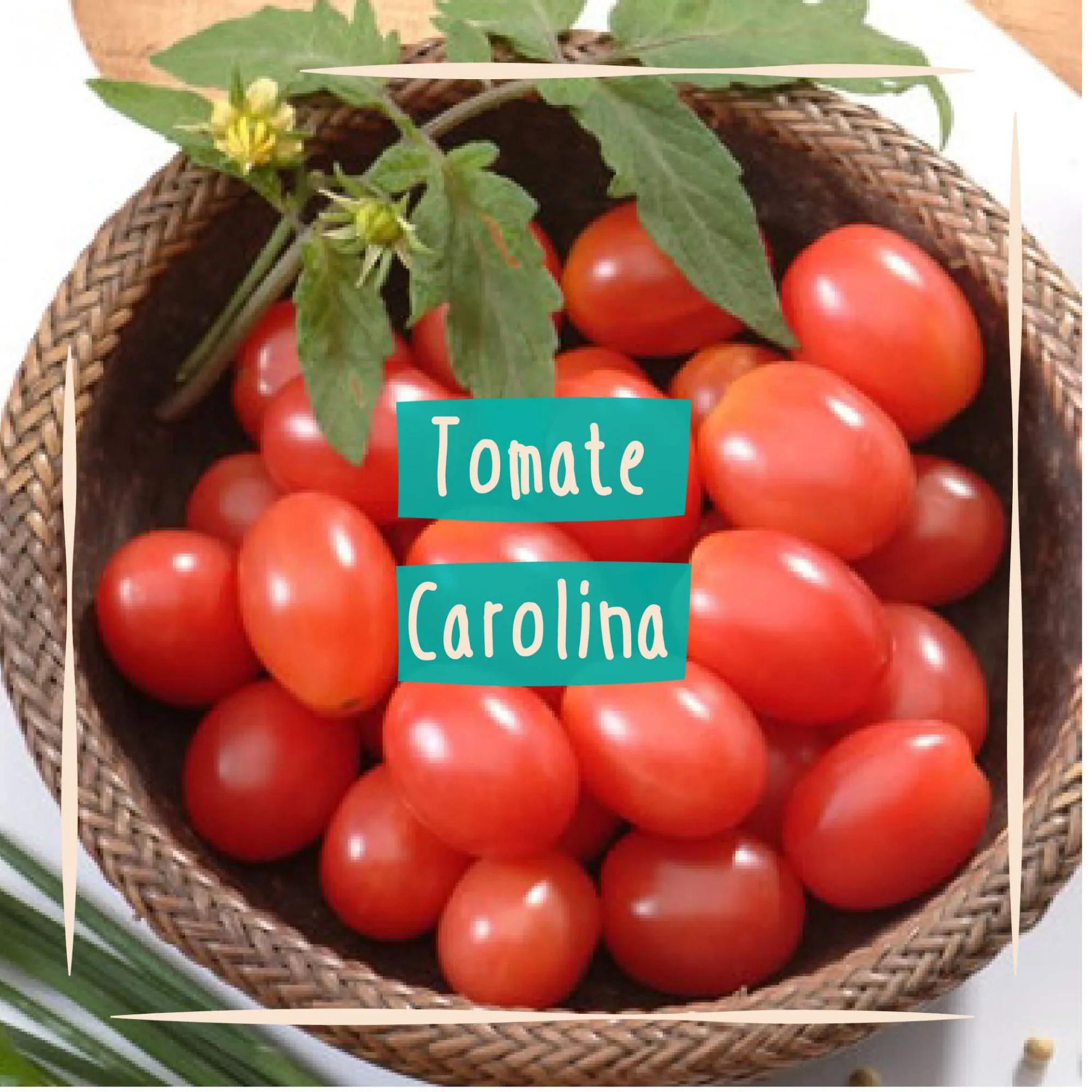 Sementes para plantar Tomate Cereja Carolina em vasos autoirrigáveis RAIZ  - Vasos Raiz Loja Oficial