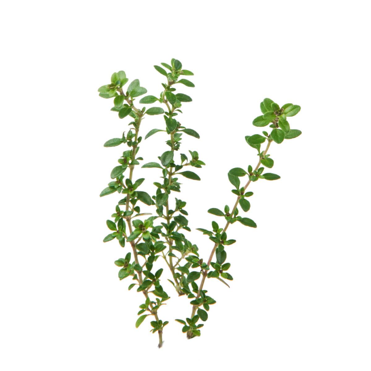 Sementes para plantar Tomilho em vasos autoirrigáveis RAIZ  - Vasos Raiz Loja Oficial