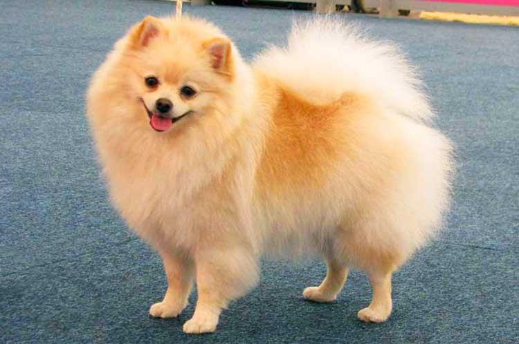 Berloque Cachorro Lulu da Pomerânia