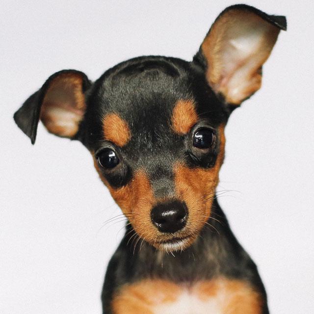 Berloque Pingente Chihuahua