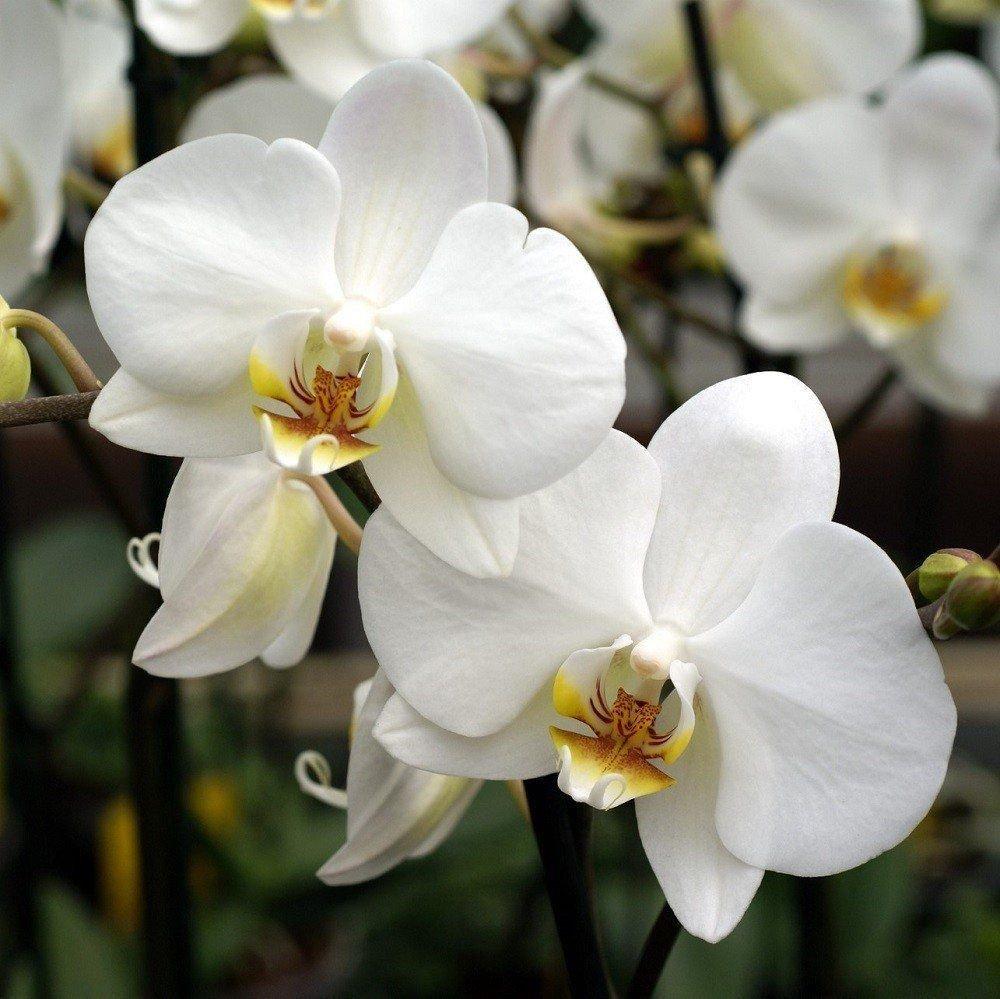 Berloque Pingente Orquídea Branca